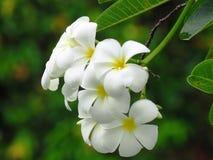 Flower, White, Plant, Flora royalty free stock photo