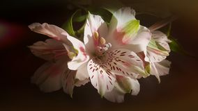 Flower, White, Plant, Pink Stock Photos