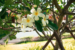 Flower. White plumeria flowers on the tree Stock Images