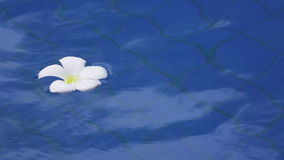 Flower white Plumeria franzhipan floats in pool water in the tropical resort.  stock footage