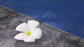 Flower white Plumeria franzhipan floats in pool water in the tropical resort stock video