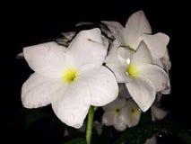 Flower. White flower after rain Stock Photos
