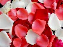 Rose petal  Stock Image