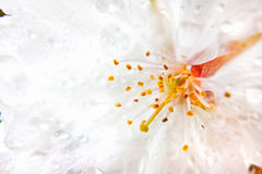 Flower of white Rhododendron Royalty Free Stock Photo