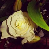 Flower. A white rose Stock Photography