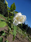 Flower of white rose on the bush. Blossoming tender white rose on a bush against a clear blue sky, a rose garden and a coniferous forest stock images