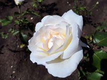 Flower of white rose on the bush. Flowering a tender white rose on a bush. The flower is photographed close-up Stock Image
