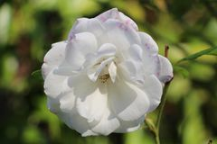 Flower, White, Rose Family, Plant Royalty Free Stock Image
