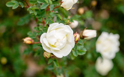 Flower white rose hips. On a background of green and buds Stock Photography