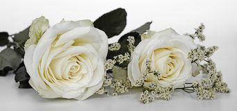 Flower, White, Rose, Rose Family Royalty Free Stock Image