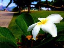 Flower. The white flower on the sidewalk stock photography