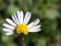 Flower. White flower with a small spider on its petals Stock Photo