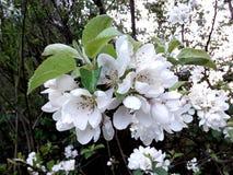 Flower. White spring apple flower Royalty Free Stock Images