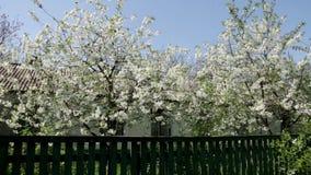 Flower white village beatiful stock footage