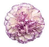 Flower White-violet  carnation  on a white isolated background with clipping path.   Closeup.  No shadows.  For design. Nature Stock Photo