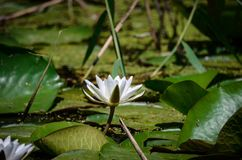 A flower of white water lilies next to large green leaves in a natural environment royalty free stock photography