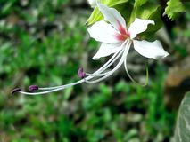 Flower. A white flower who contain some sweetness or happyness of human mind Royalty Free Stock Photo