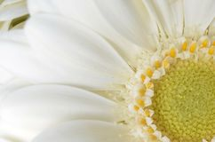 Flower, White, Yellow, Close Up Royalty Free Stock Photo