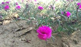 Flower. Of Wichhudi (Gujarati) Bhalasara Stock Photos