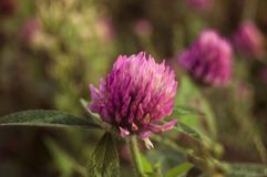 flower wild Στοκ εικόνες με δικαίωμα ελεύθερης χρήσης