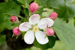 Flower of wild apple tree Royalty Free Stock Photos