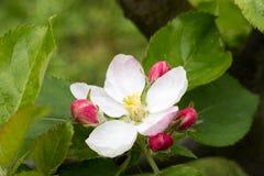 Flower of wild apple tree Stock Image