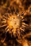 Flower of wild artichoke Stock Photos