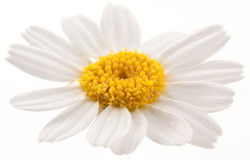 Flower of wild camomile. Royalty Free Stock Image