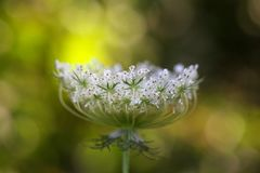 Flower of a wild carrot Stock Photo