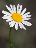 Flower of a wild chamomile Royalty Free Stock Image