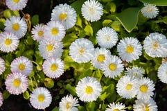 Flower - wild chamomile stock images