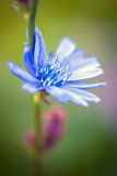 Flower of wild chicory Royalty Free Stock Photos