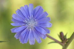 Flower wild chicory Royalty Free Stock Photos