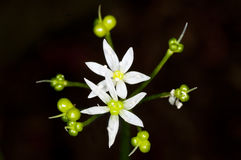 Flower of wild garlic Royalty Free Stock Photo