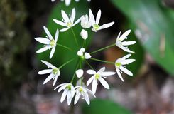 Flower of Wild garlic Allium ursinum in the form of a circle. royalty free stock photo
