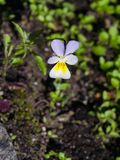 Flower of wild heartsease or Viola tricolor macro at flowerbed, selective focus, shallow DOF.  Royalty Free Stock Photos
