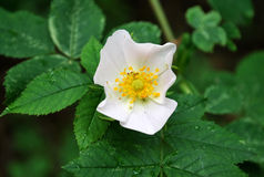 Flower wild rose Royalty Free Stock Photography