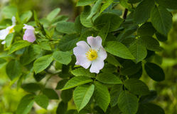 Flower of wild rose Royalty Free Stock Images