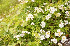 Flower of wild rose Stock Images
