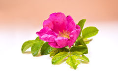 Flower of wild rose plants Stock Image
