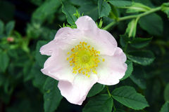 Flower wild rose Royalty Free Stock Photo