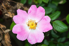 Flower of wild rose and two insect Royalty Free Stock Photo