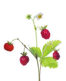 Flower on wild strawberry isolated branch Royalty Free Stock Photography