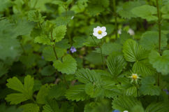 Flower of wild strawberry. Photo strawberry glades - wild strawberry flower Royalty Free Stock Images