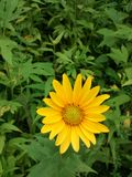 Flower. Wild sunflower. Gorgeous and so yellow and green. I love when color pops Royalty Free Stock Photos