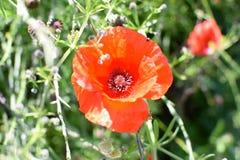 Flower, Wildflower, Coquelicot, Poppy Stock Photography