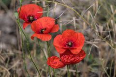 Flower, Wildflower, Coquelicot, Poppy Royalty Free Stock Photography
