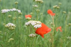 Flower, Wildflower, Ecosystem, Meadow royalty free stock photos