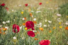 Flower, Wildflower, Field, Meadow Royalty Free Stock Photo