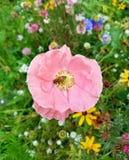 Flower, Wildflower, Flora, Flowering Plant royalty free stock photo